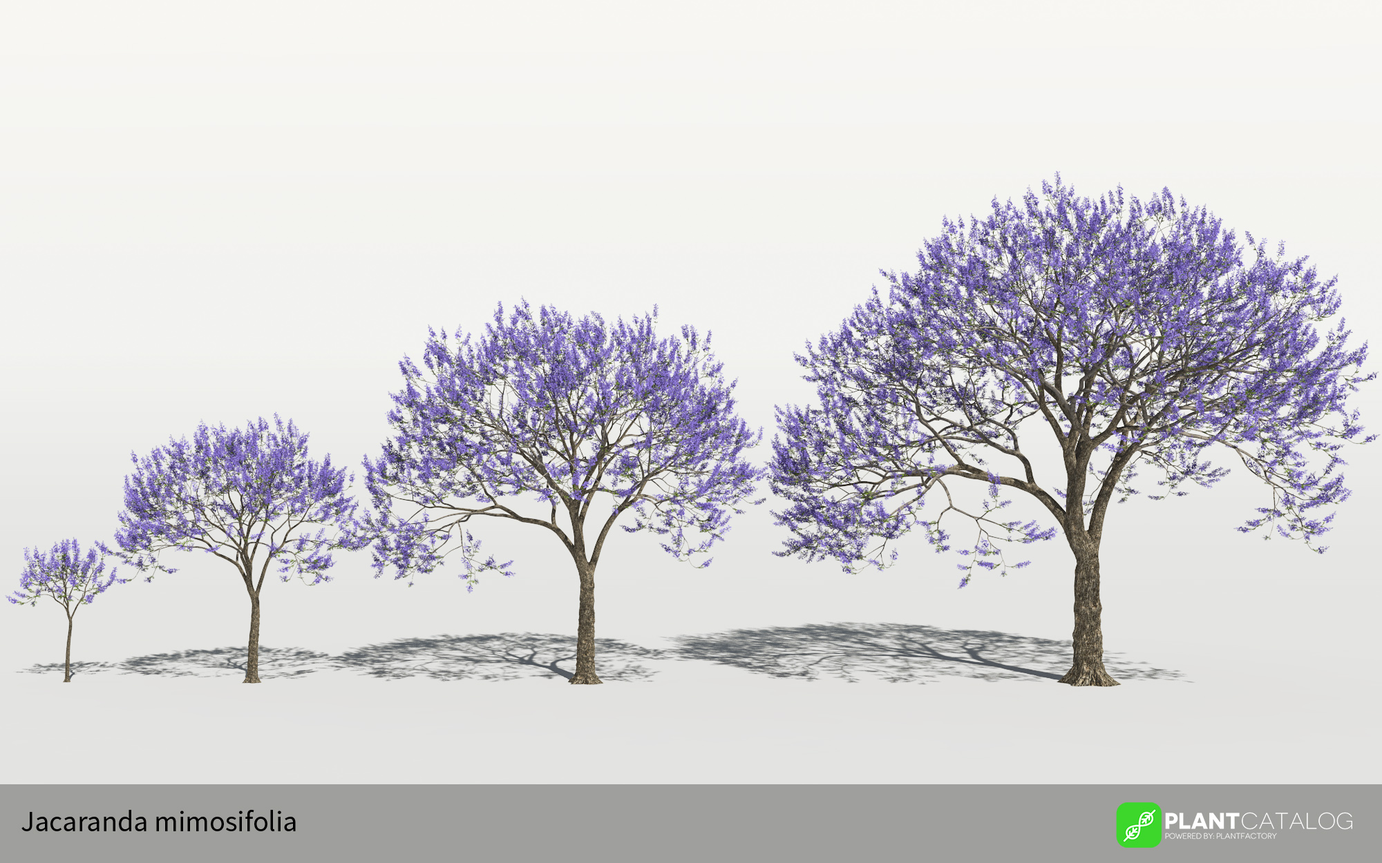 3D model of the Blue jacaranda - Jacaranda mimosifolia - from the PlantCatalog, rendered in VUE