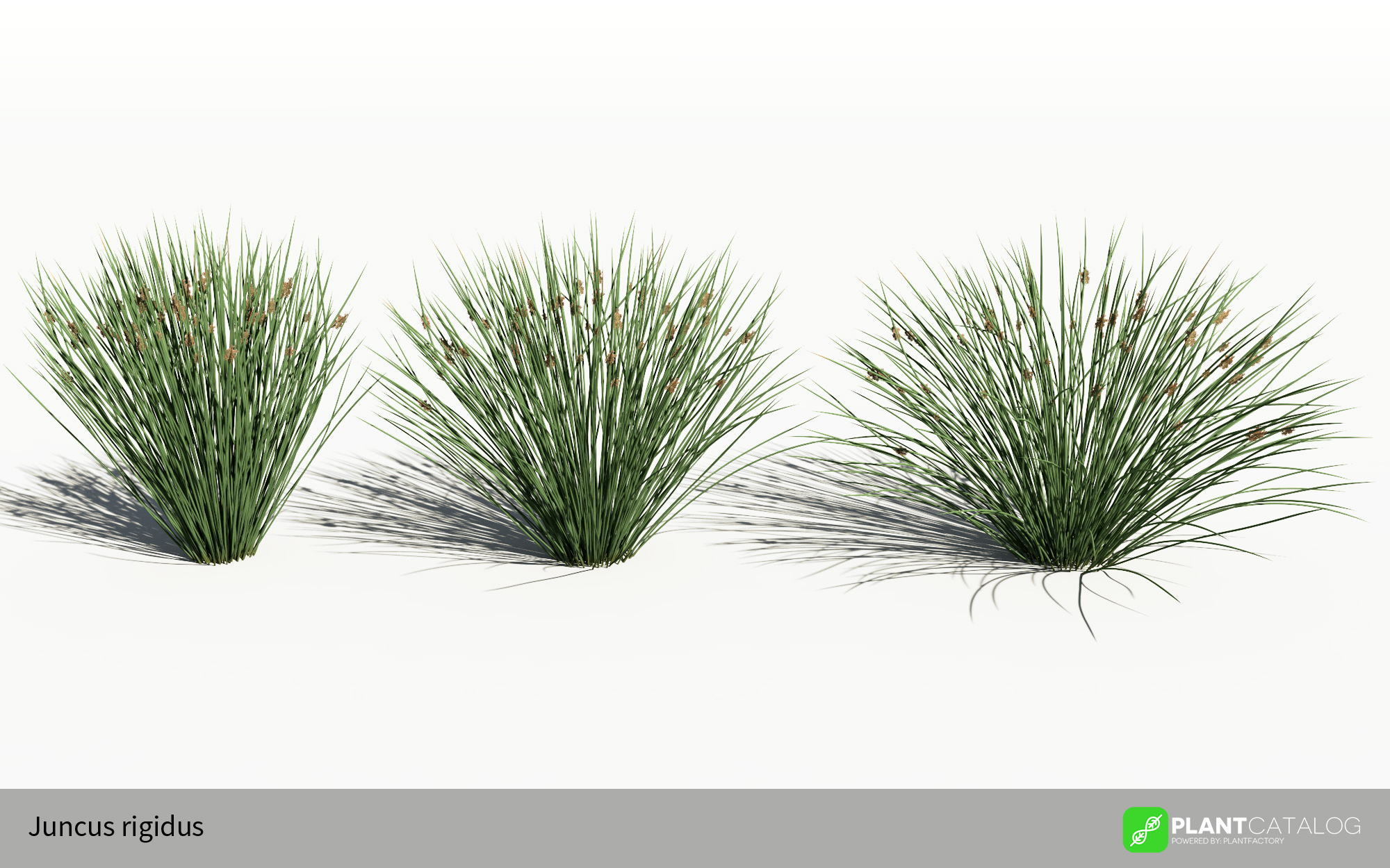 04 3D plant model see rush Juncus rigidus swamp perennials PlantFactory vegetation modeler software curving