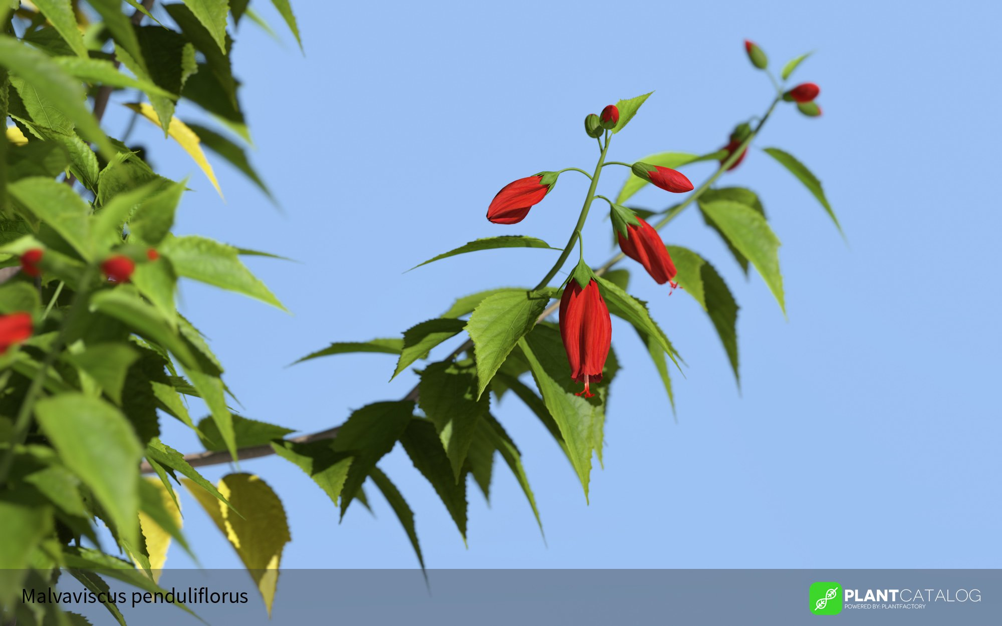 3D model of the Turk's cap mallow  - Malvaviscus penduliflorus - from the PlantCatalog, rendered in VUE