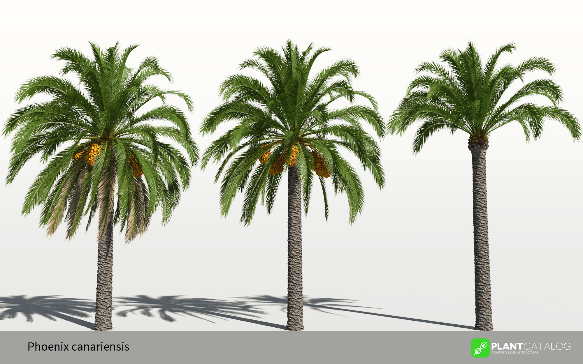 3D model of the Canary Island date palm - Phoenix canariensis - from the PlantCatalog, rendered in VUE