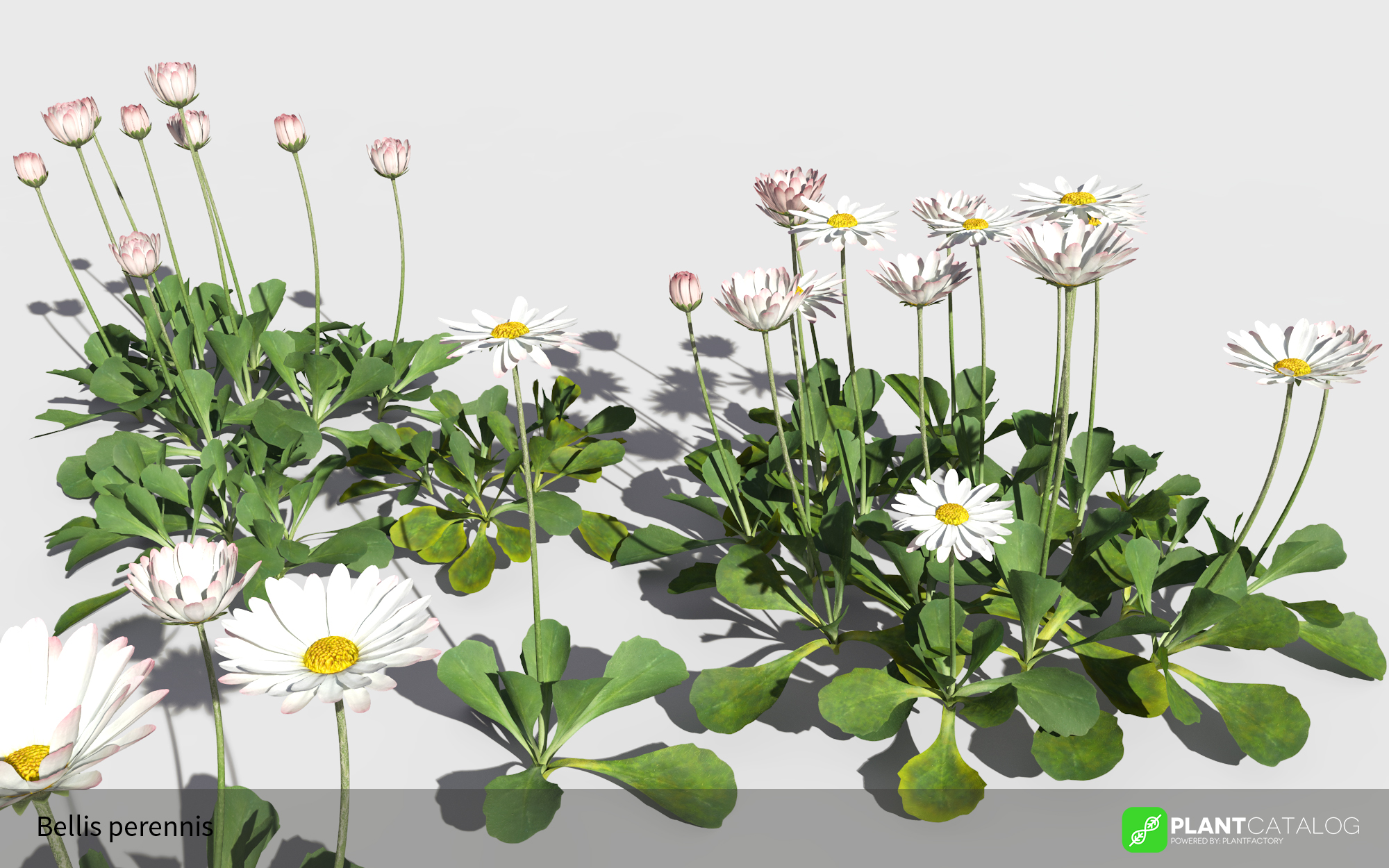 3D model of the Common daisy - Bellis perennis - from the PlantCatalog, rendered in VUE