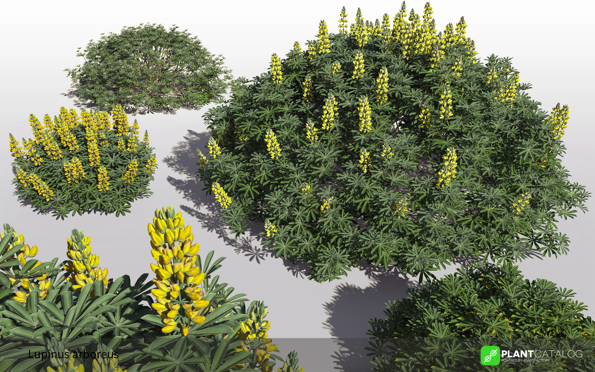 3D model of the Yellow bush lupine - Lupinus arboreus - from the PlantCatalog, rendered in VUE