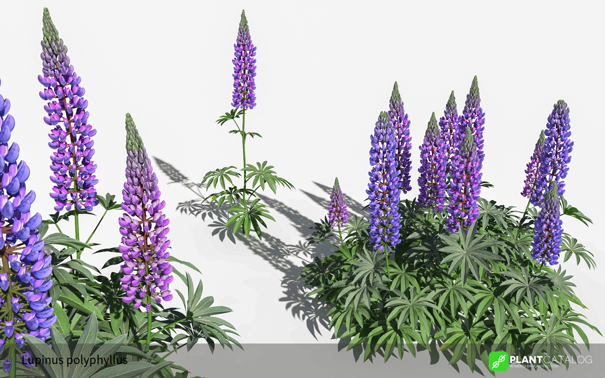 3D model of the Large-leaved lupine - Lupinus polyphyllus - from the PlantCatalog, rendered in VUE