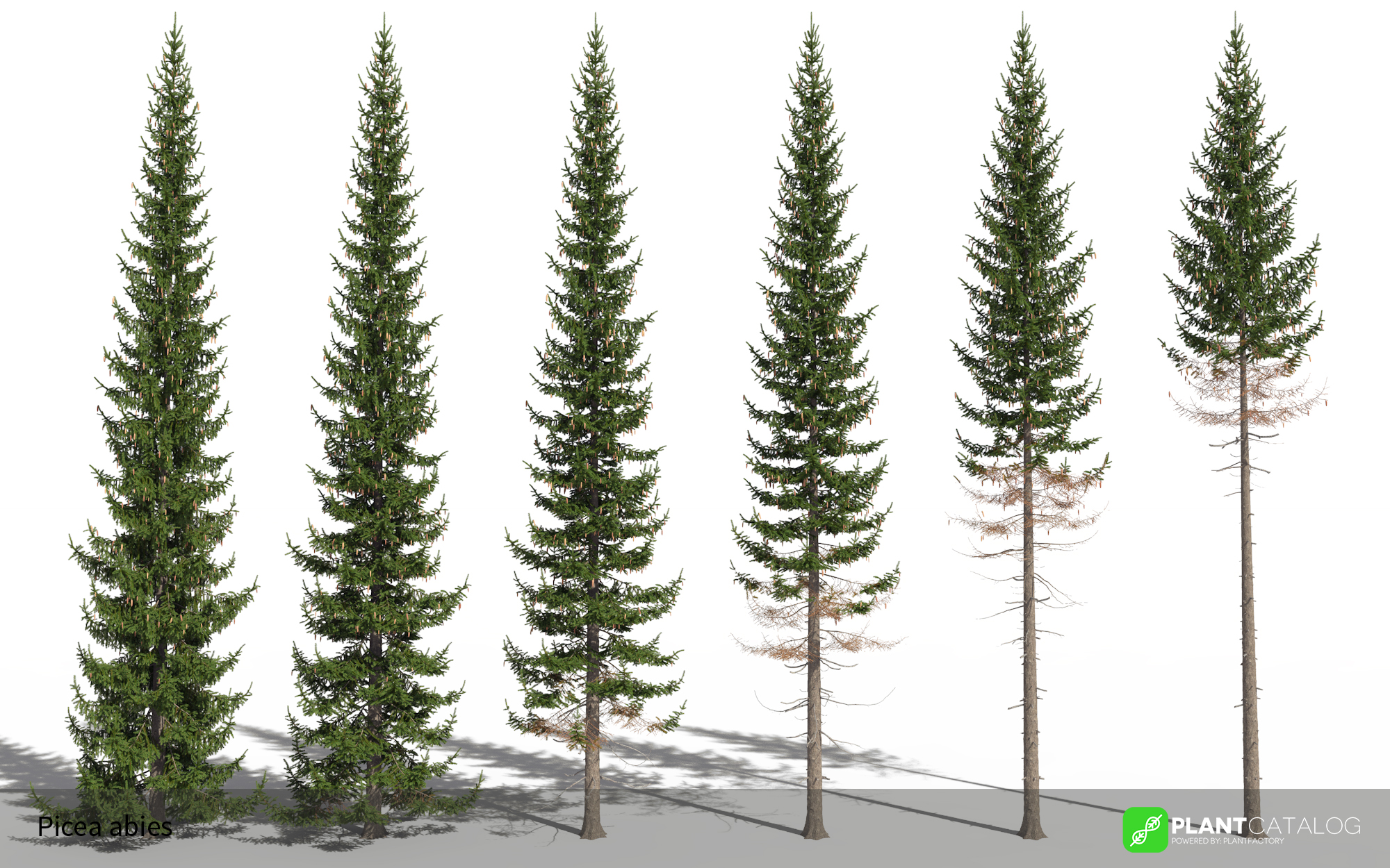3D model of the Norway spruce - Picea abies - from the PlantCatalog, rendered in VUE