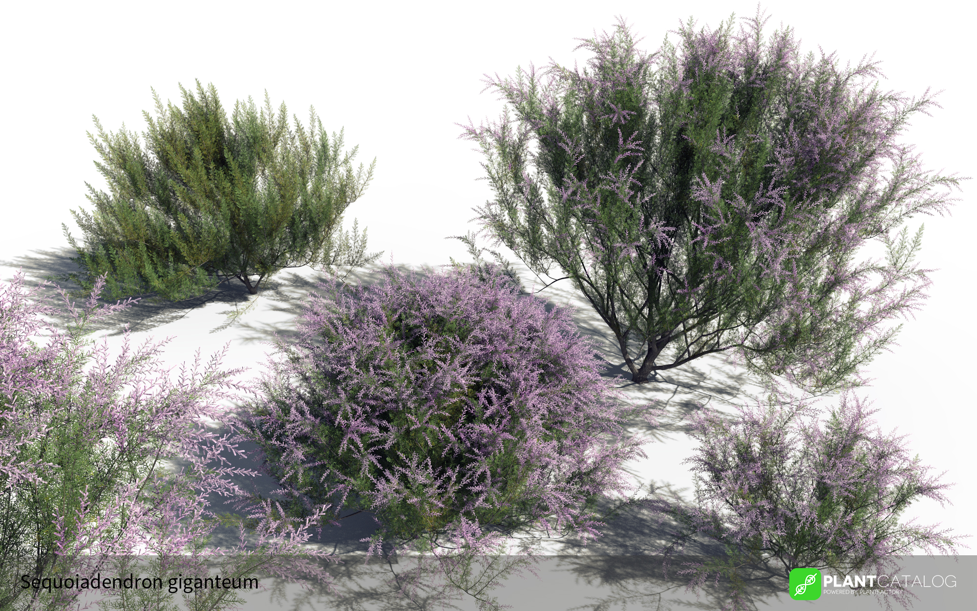 3D model of the French tamarisk - Tamarix gallica - from the PlantCatalog, rendered in VUE