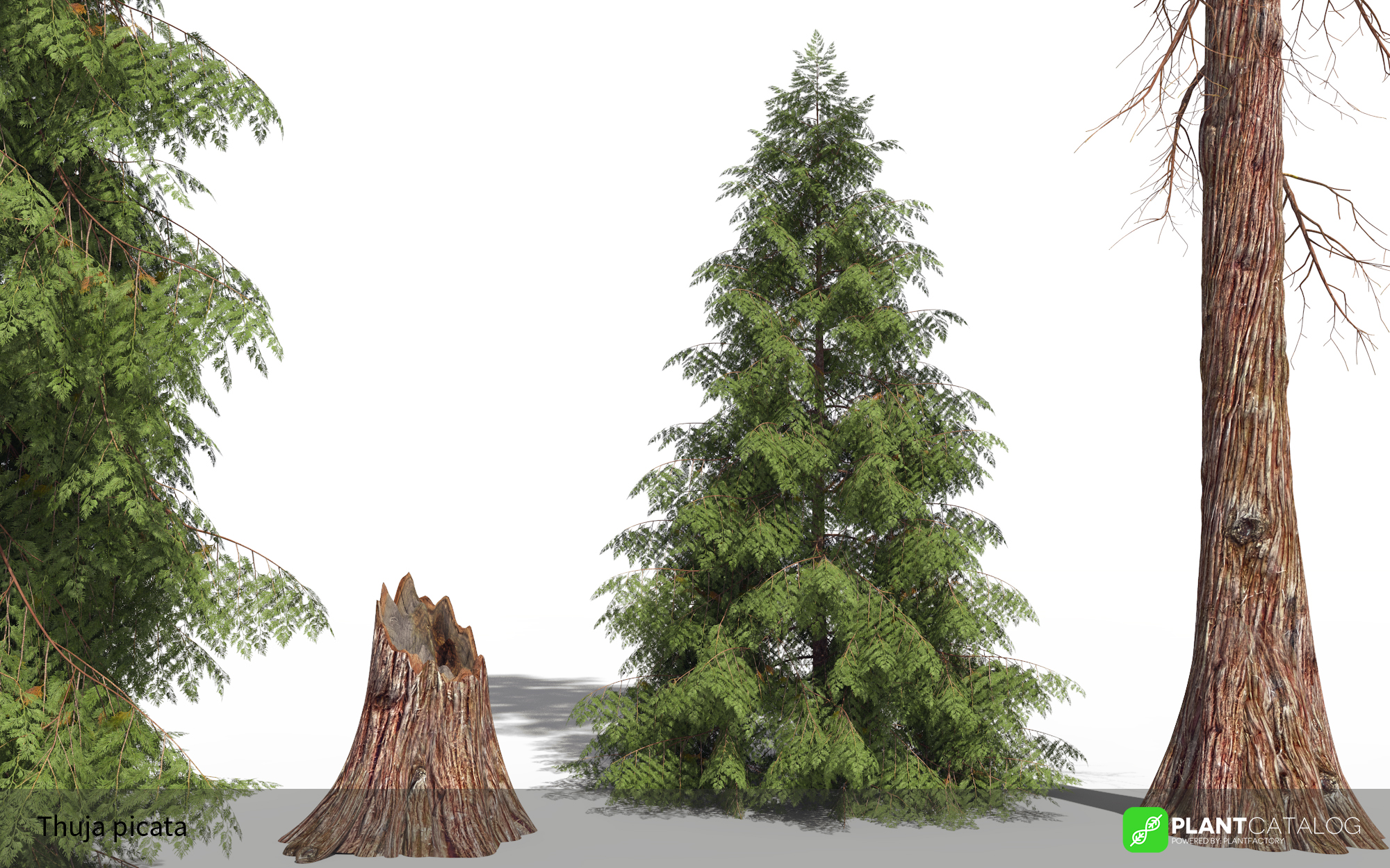 3D model of the Western red cedar - Thuja plicata - from the PlantCatalog, rendered in VUE
