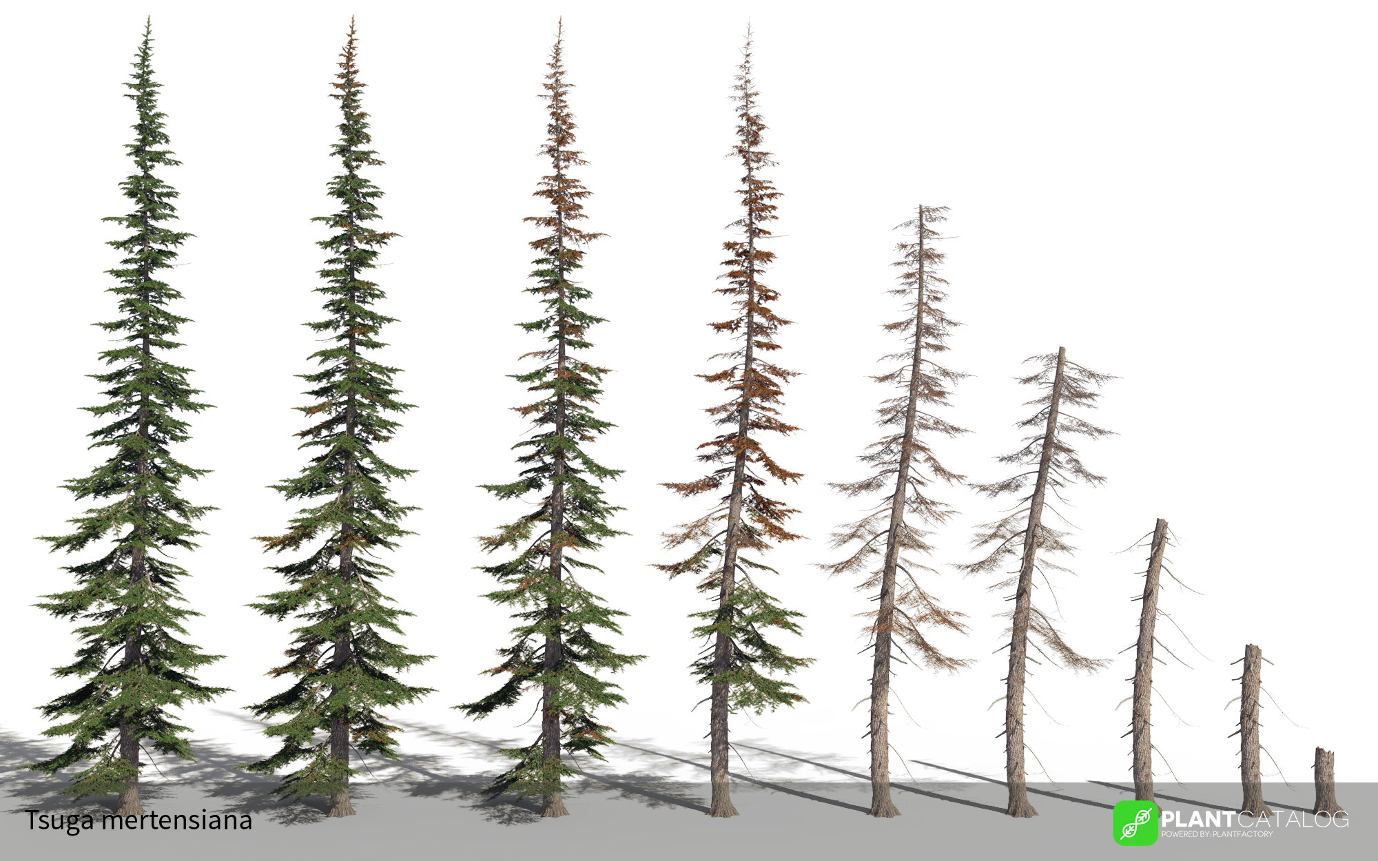 3D model of the Mountain hemlock - Tsuga mertensiana - from the PlantCatalog, rendered in VUE