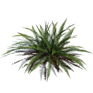 3D model of the Deer fern - Blechnum spicant - from the PlantCatalog, rendered in VUE