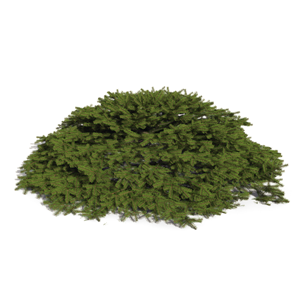 3D model of the Bird's Nest spruce - Picea abies 'Nidiformis' - from the PlantCatalog, rendered in VUE