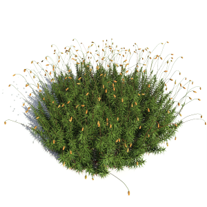 3D model of the Common haircap moss - Polytrichum commune - from the PlantCatalog, rendered in VUE