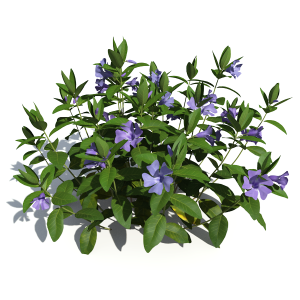 3D model of the Dwarf periwinkle - Vinca minor - from the PlantCatalog, rendered in VUE