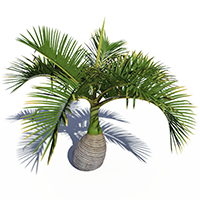3D model of the Bottle palm - Hyophorbe lagenicaulis - from the PlantCatalog, rendered in VUE
