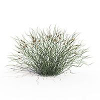 3D model of the Corkscrew rush - Juncus effusus 'Spiralis' - from the PlantCatalog, rendered in VUE
