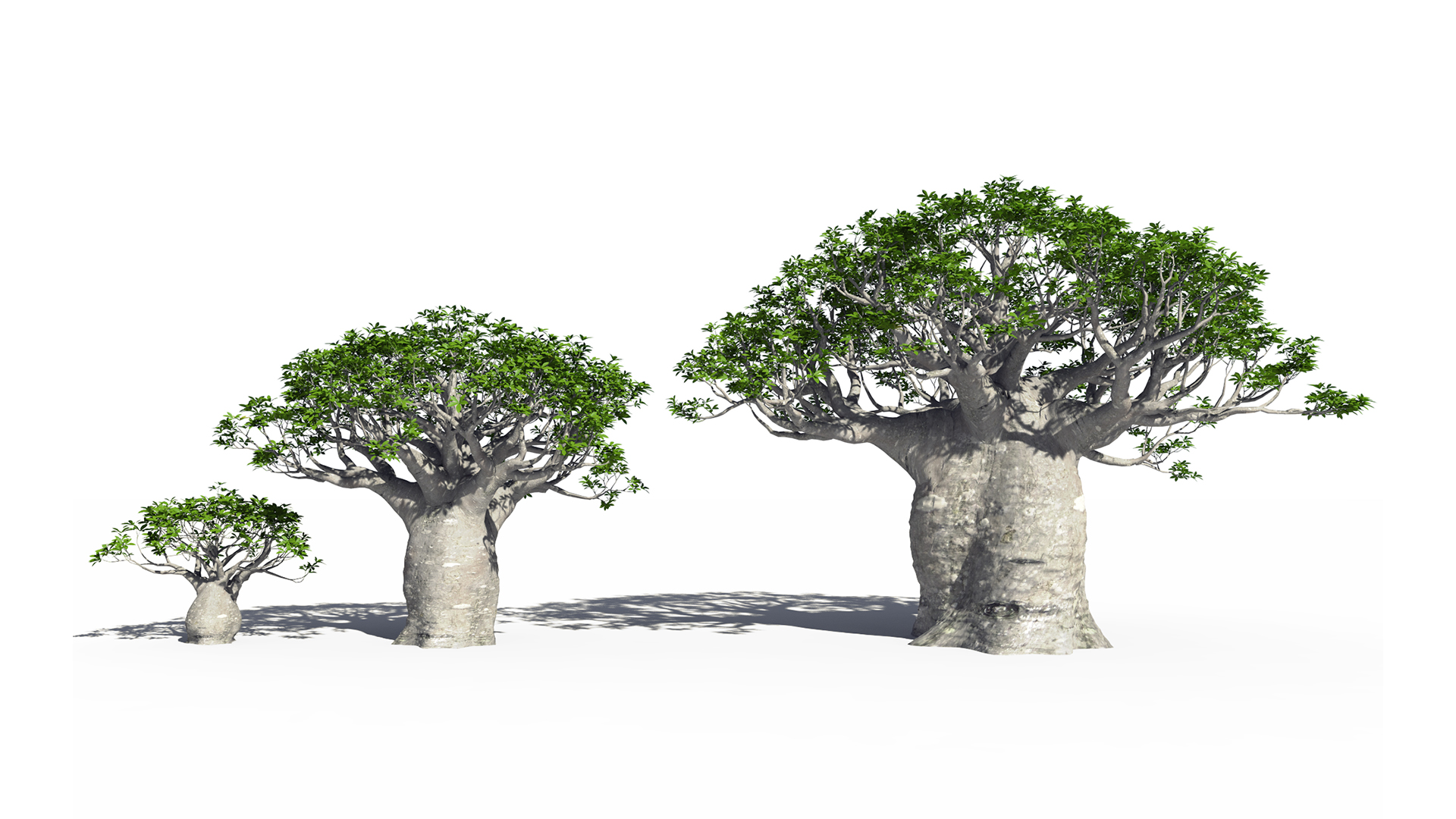 3D model of the African continental baobab Adansonia digitata maturity variations