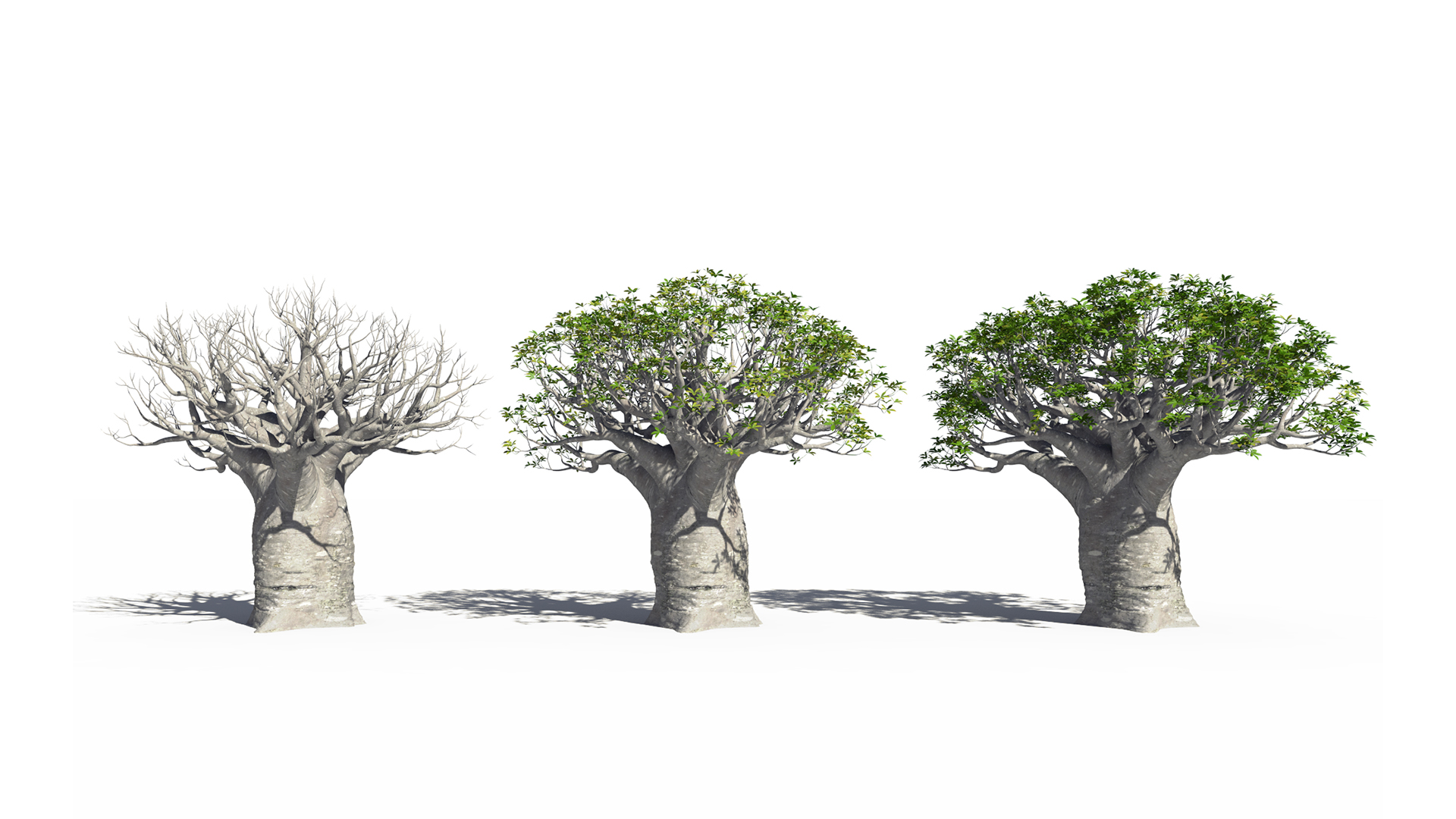 3D model of the African continental baobab Adansonia digitata health variations