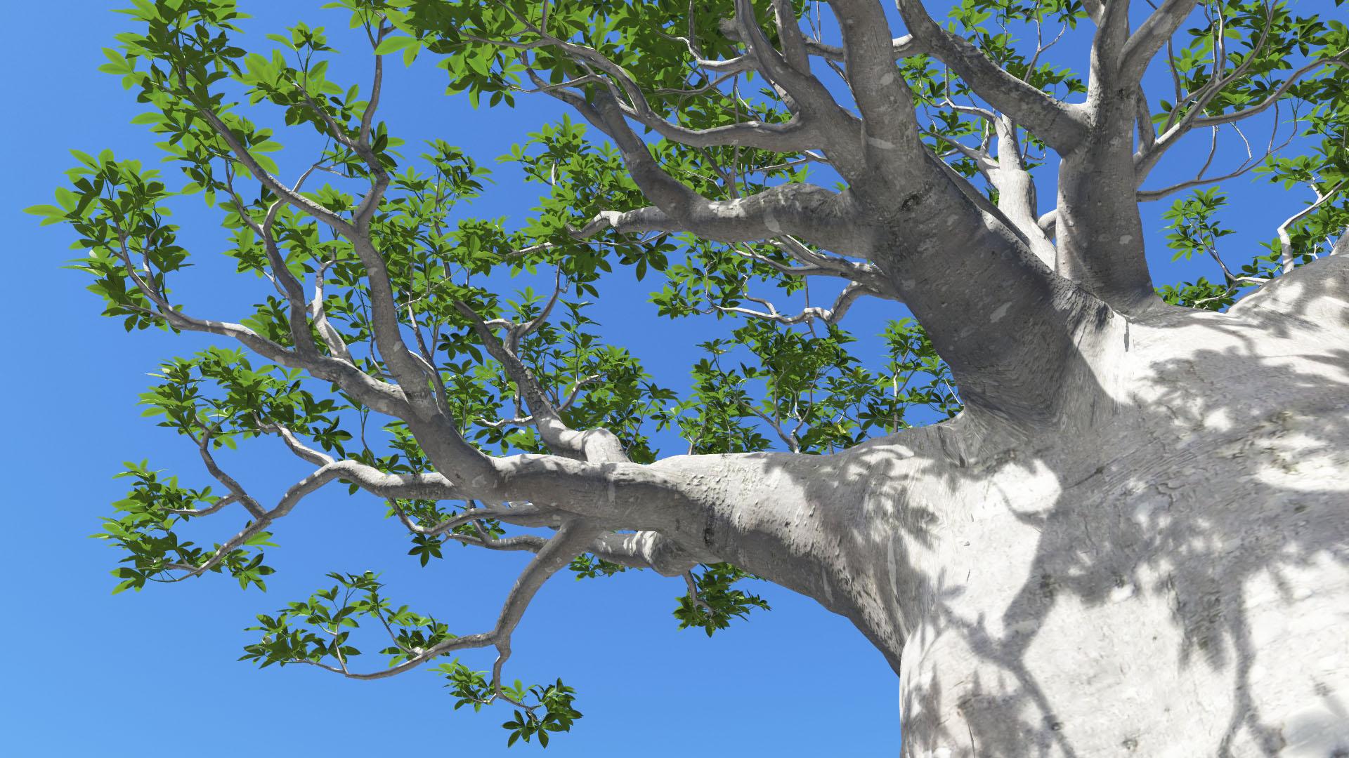 3D model of the African continental baobab Adansonia digitata close-up