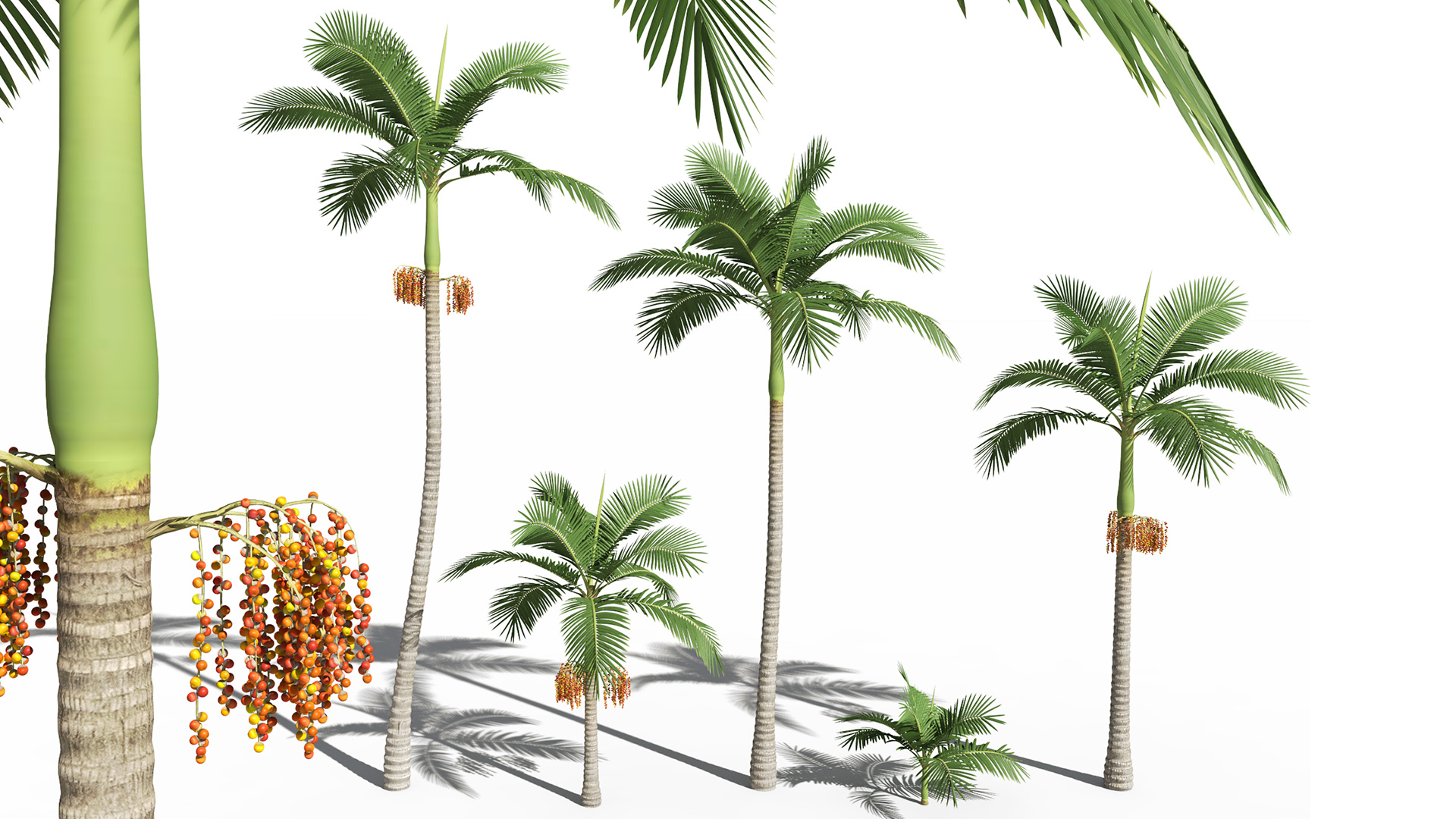 3D model of the Alexander palm Archontophoenix alexandrae different presets