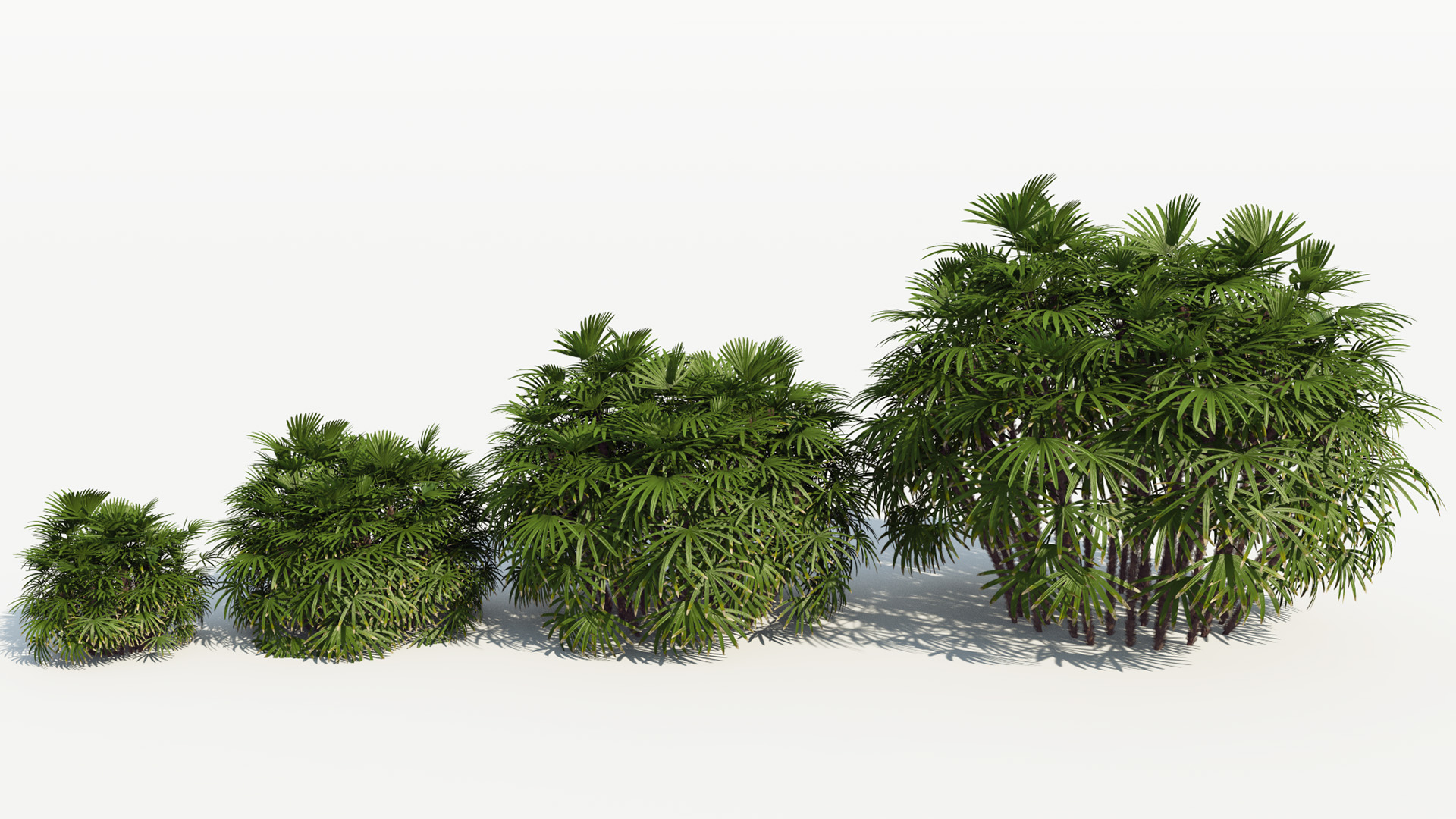3D model of the Bamboo palm Rhapis excelsa maturity variations