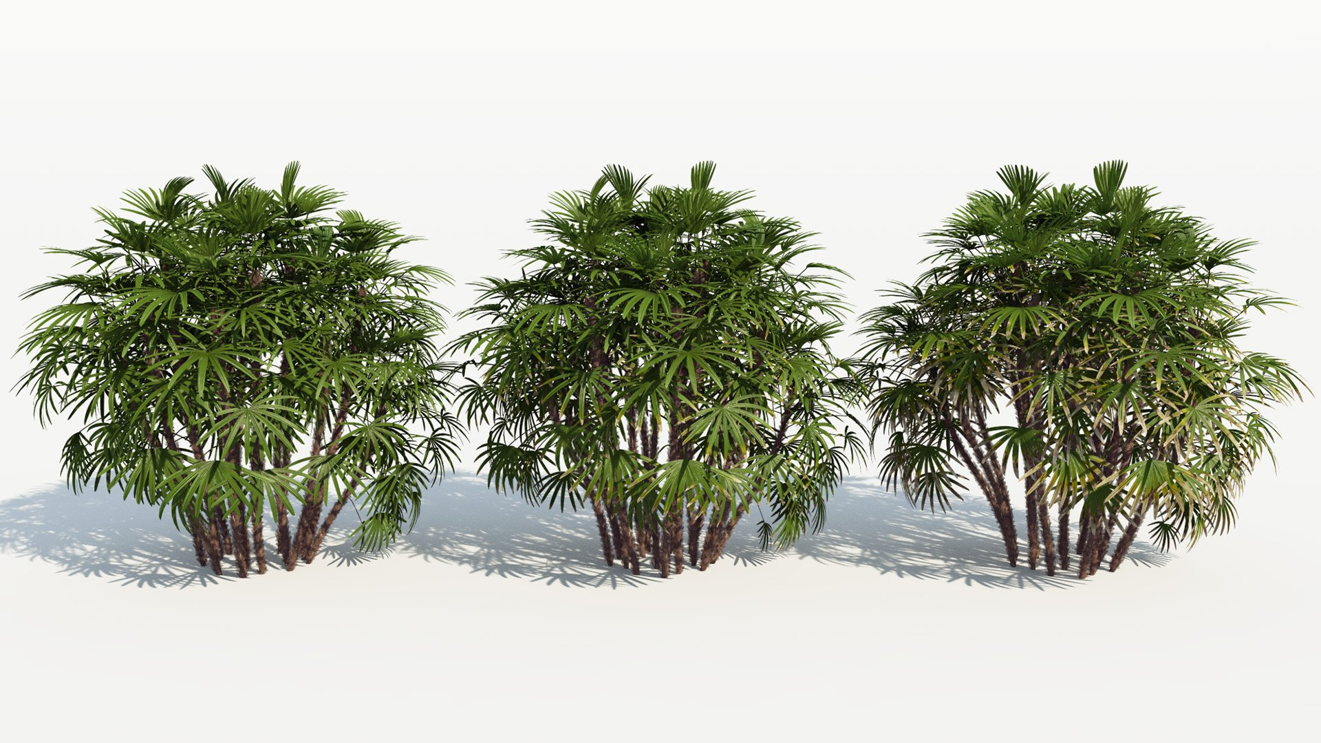 3D model of the Bamboo palm Rhapis excelsa health variations