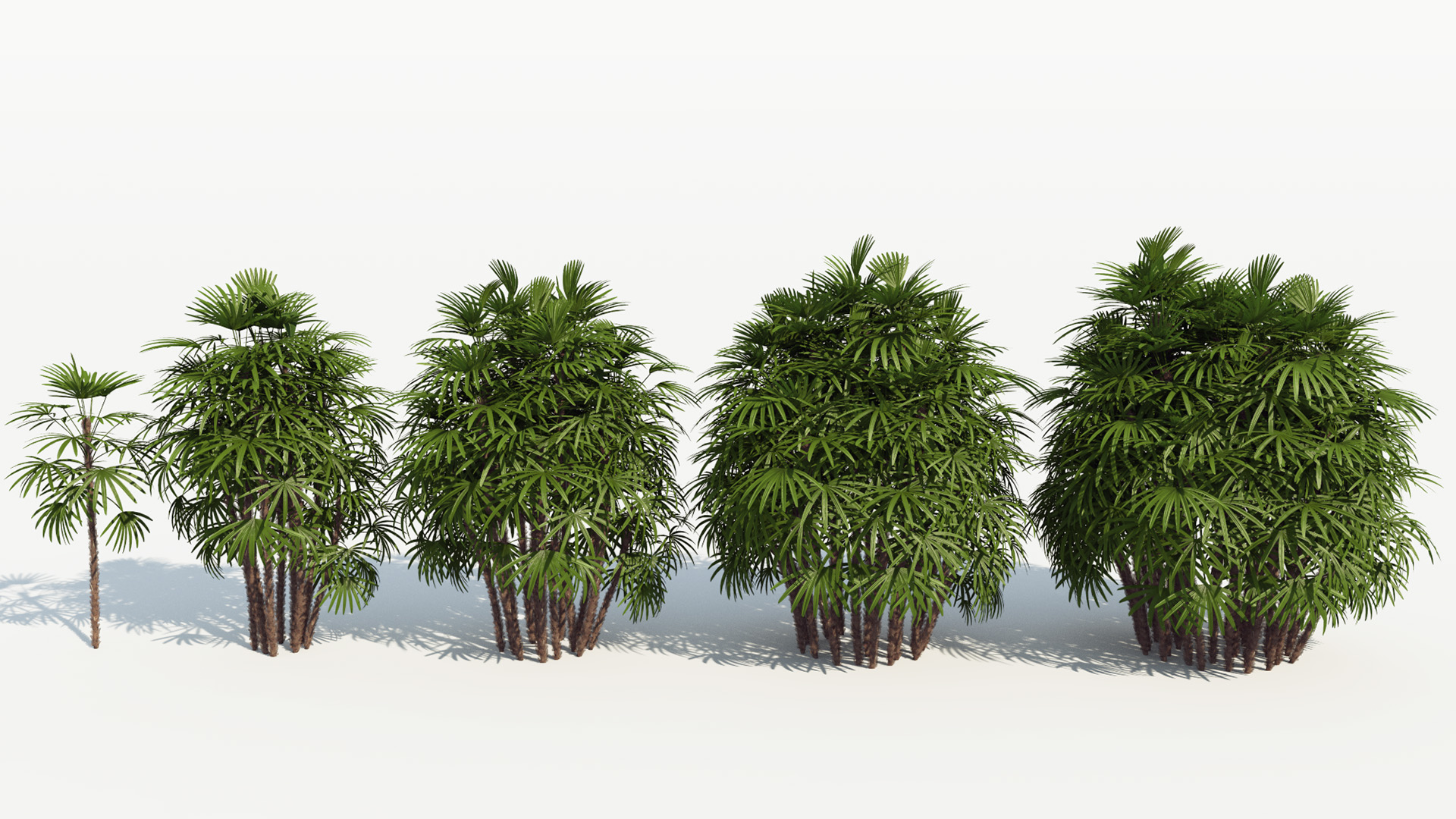 3D model of the Bamboo palm Rhapis excelsa different presets