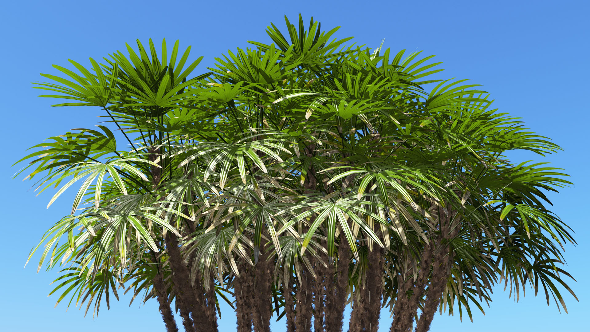3D model of the Bamboo palm Rhapis excelsa close-up