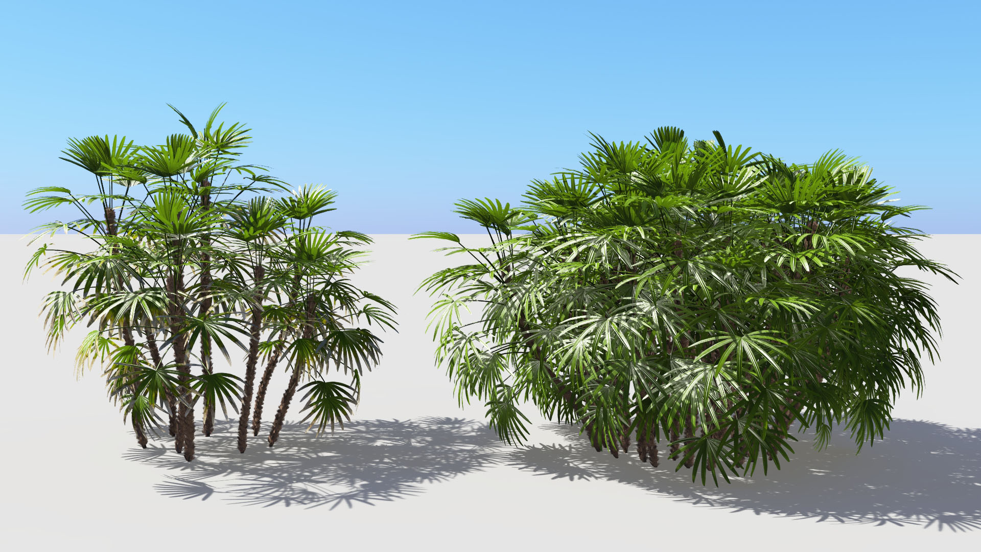 3D model of the Bamboo palm Rhapis excelsa