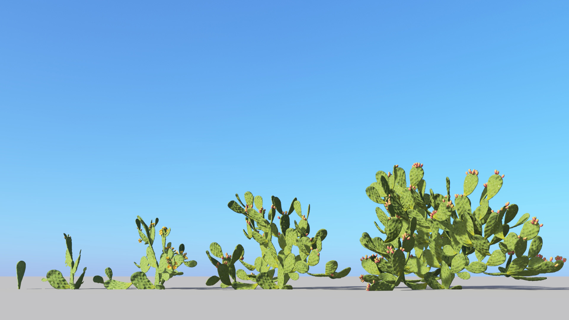 3D model of the Barbary fig Opuntia ficus-indica maturity variations