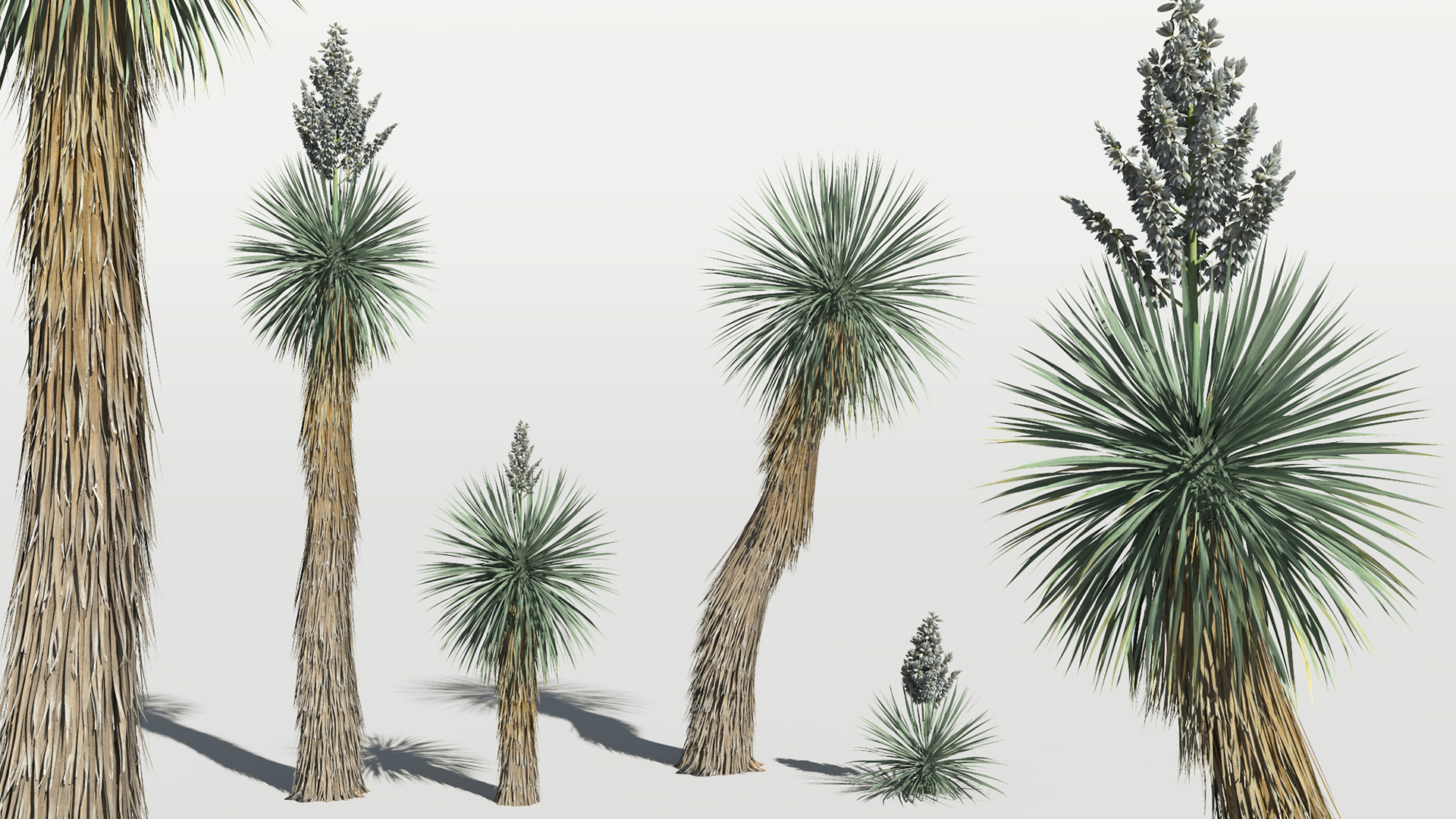 3D model of the Beaked yucca Yucca rostrata different presets