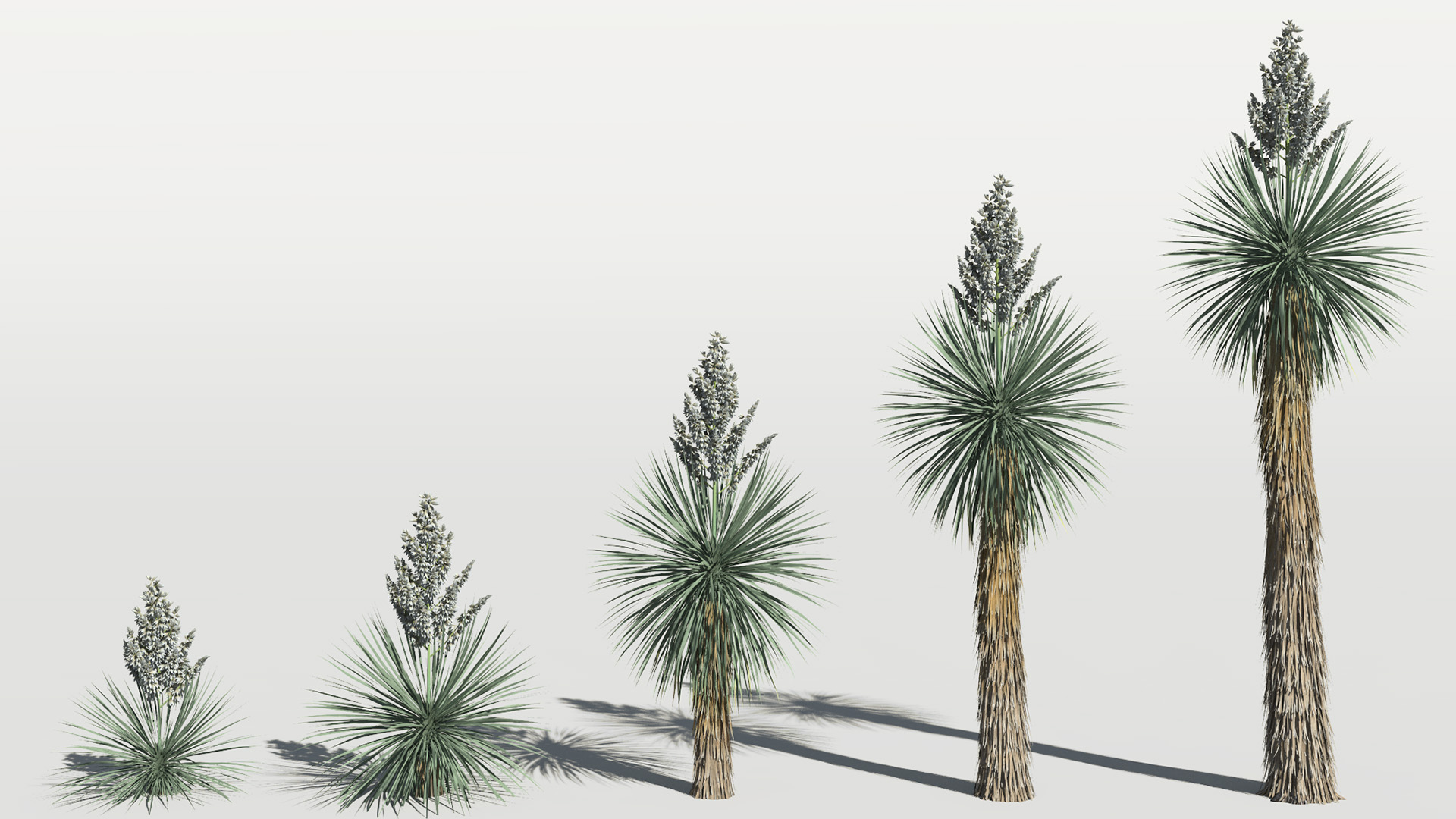 3D model of the Beaked yucca Yucca rostrata maturity variations