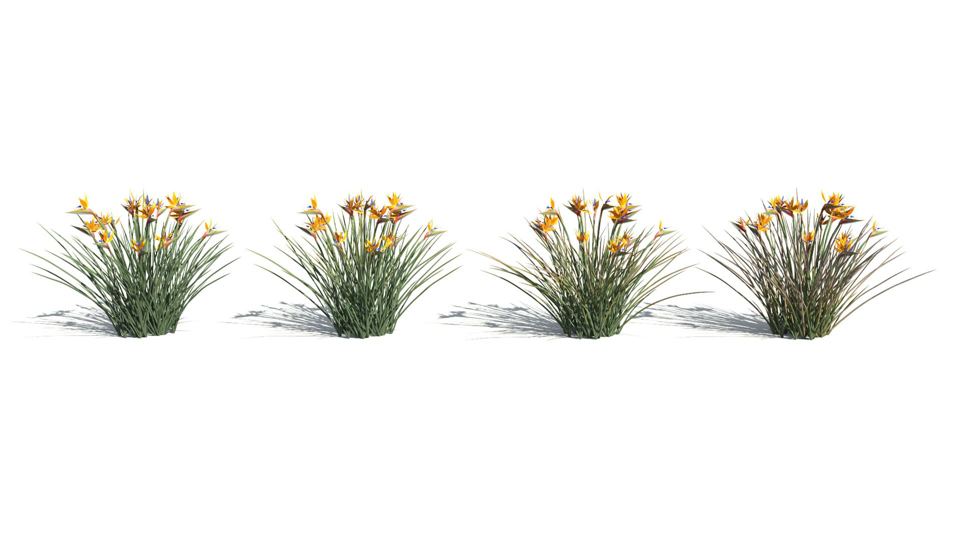 3D model of the Bird of paradise Strelitzia reginae health variations
