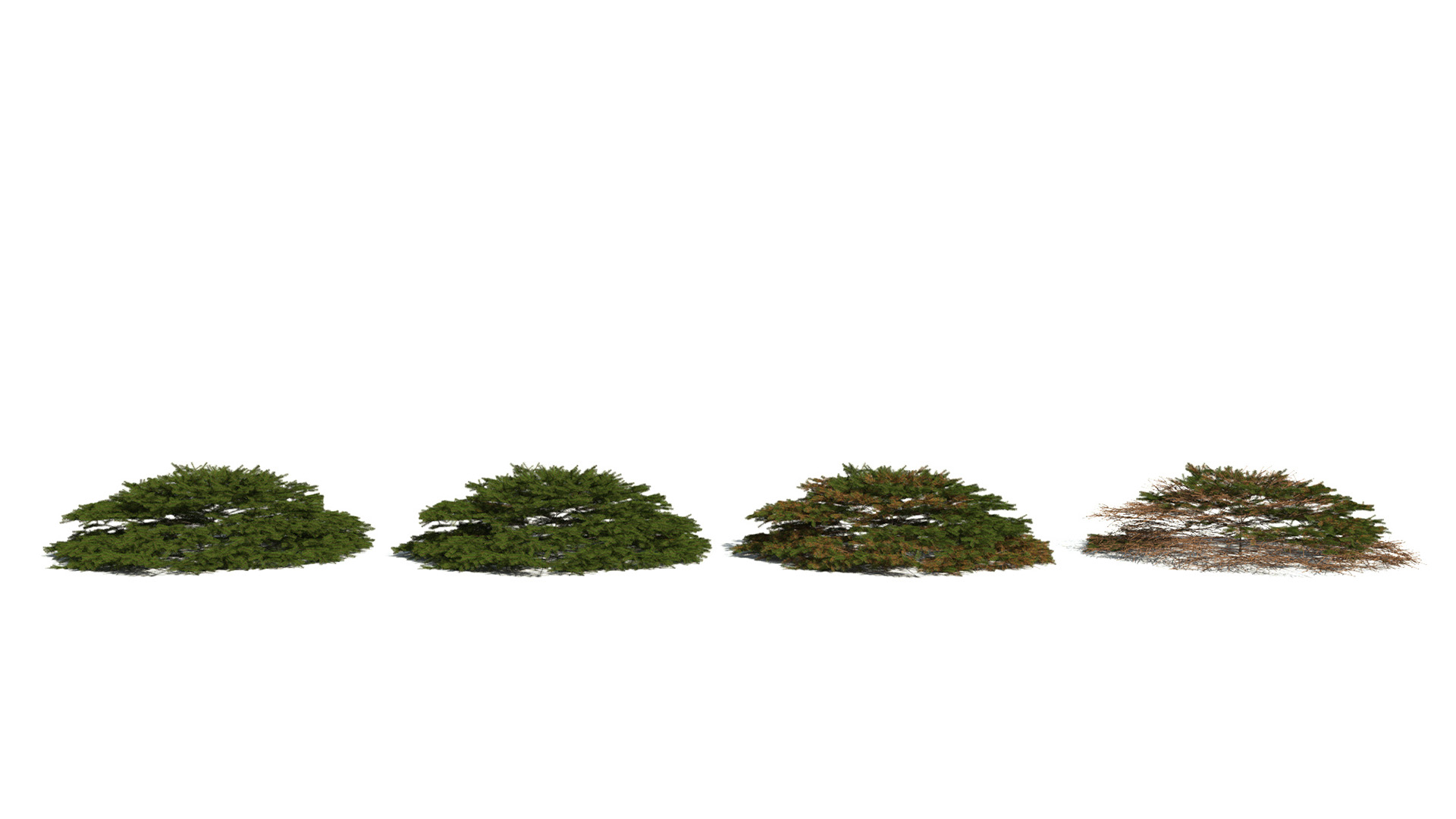 3D model of the Birds Nest spruce Picea abies