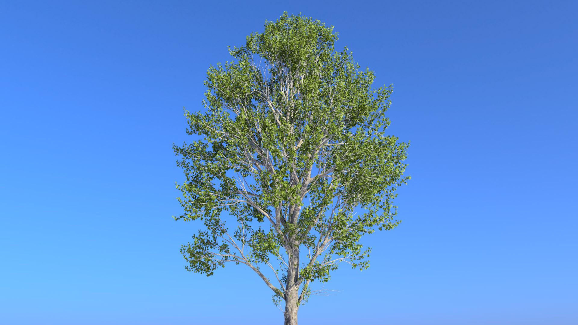 3D model of the Black poplar Populus nigra close-up