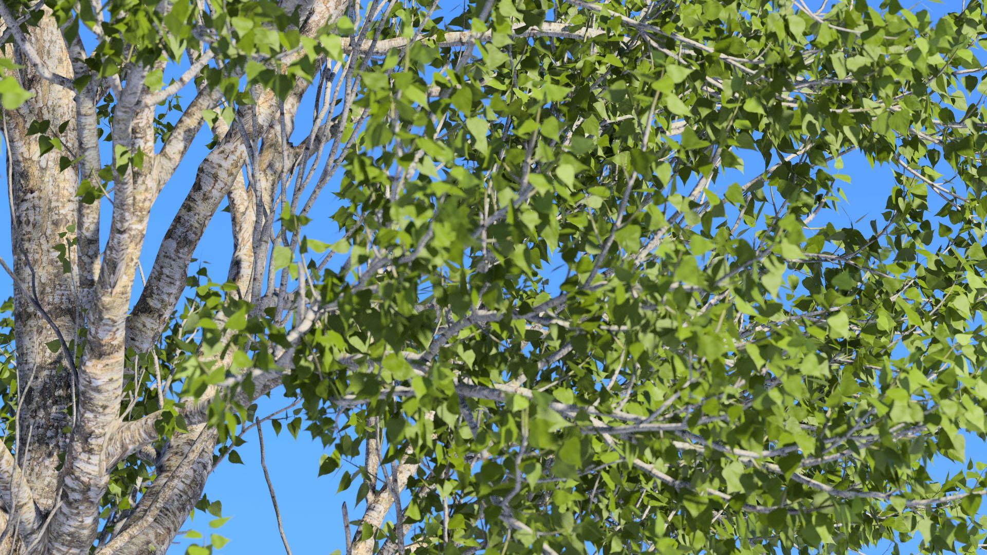 3D model of the Black poplar Populus nigra