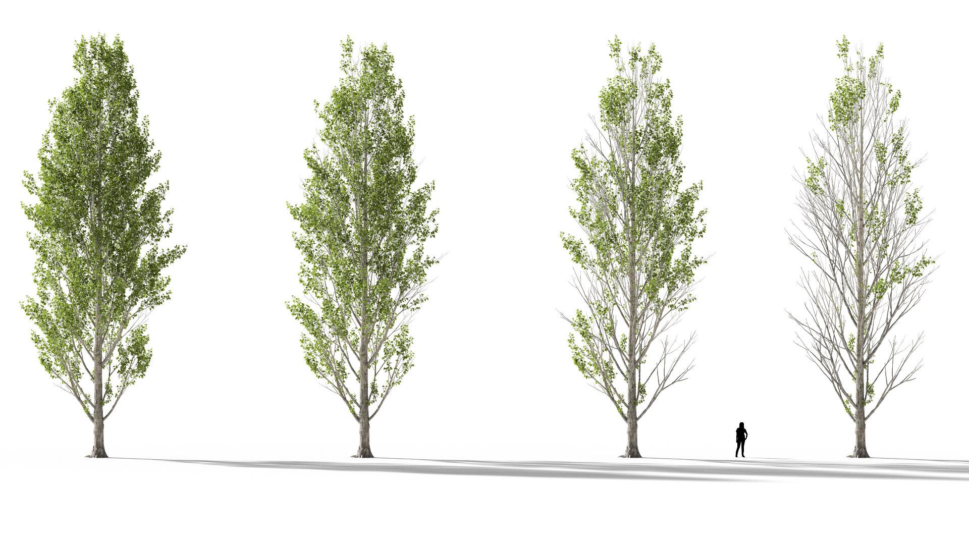 3D model of the Black poplar Populus nigra health variations