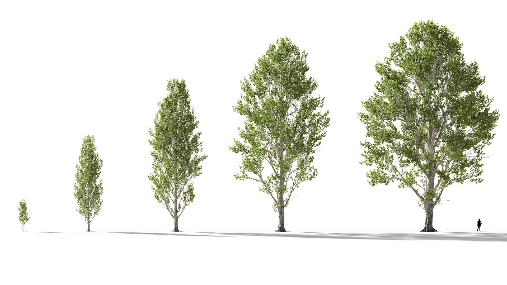 3D model of the Black poplar Populus nigra maturity variations
