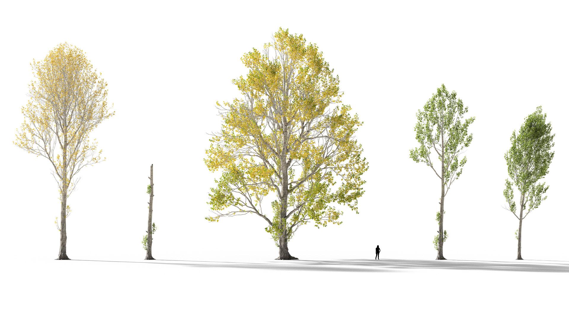 3D model of the Black poplar Populus nigra published parameters