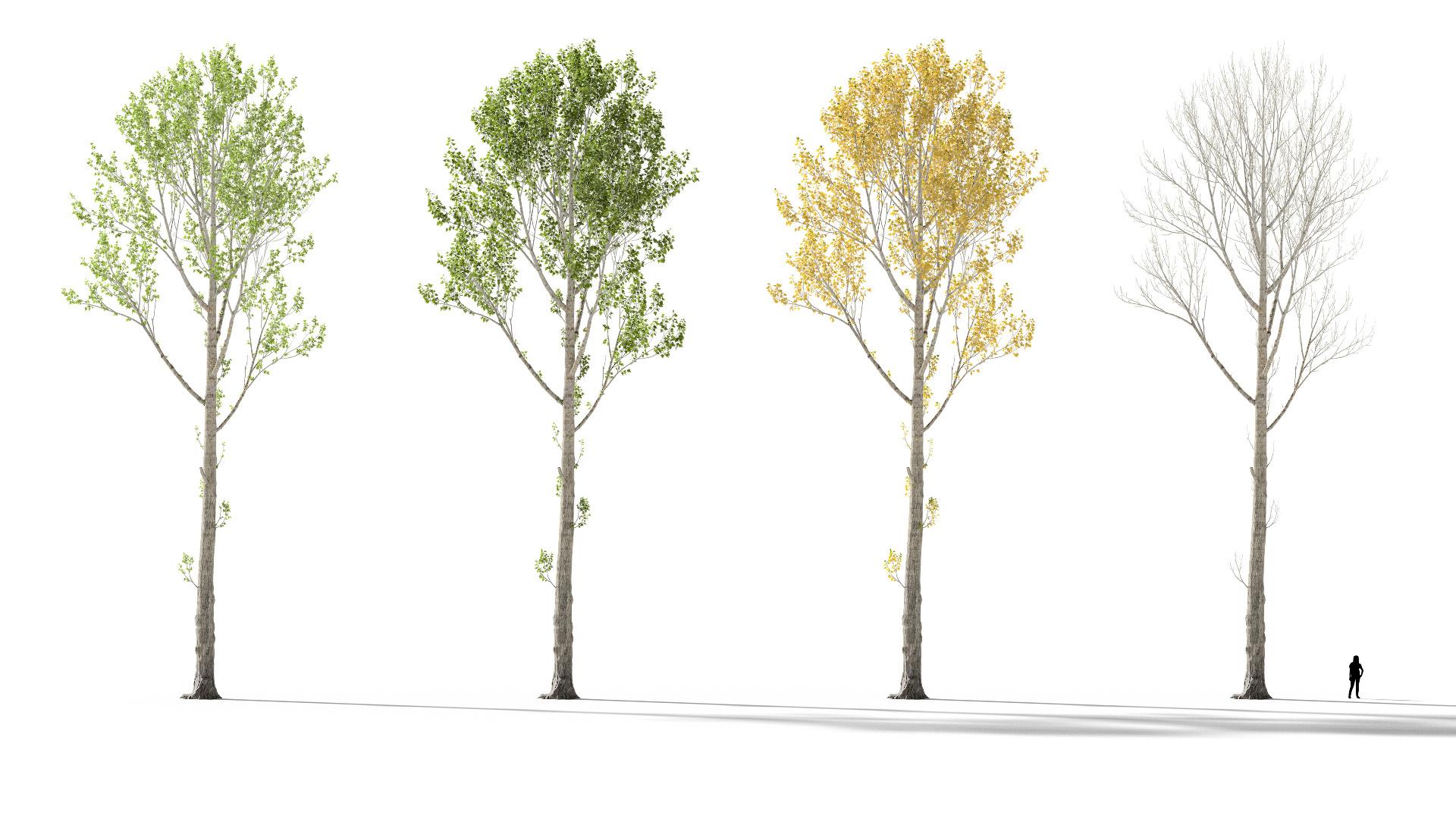 3D model of the Black poplar Populus nigra season variations
