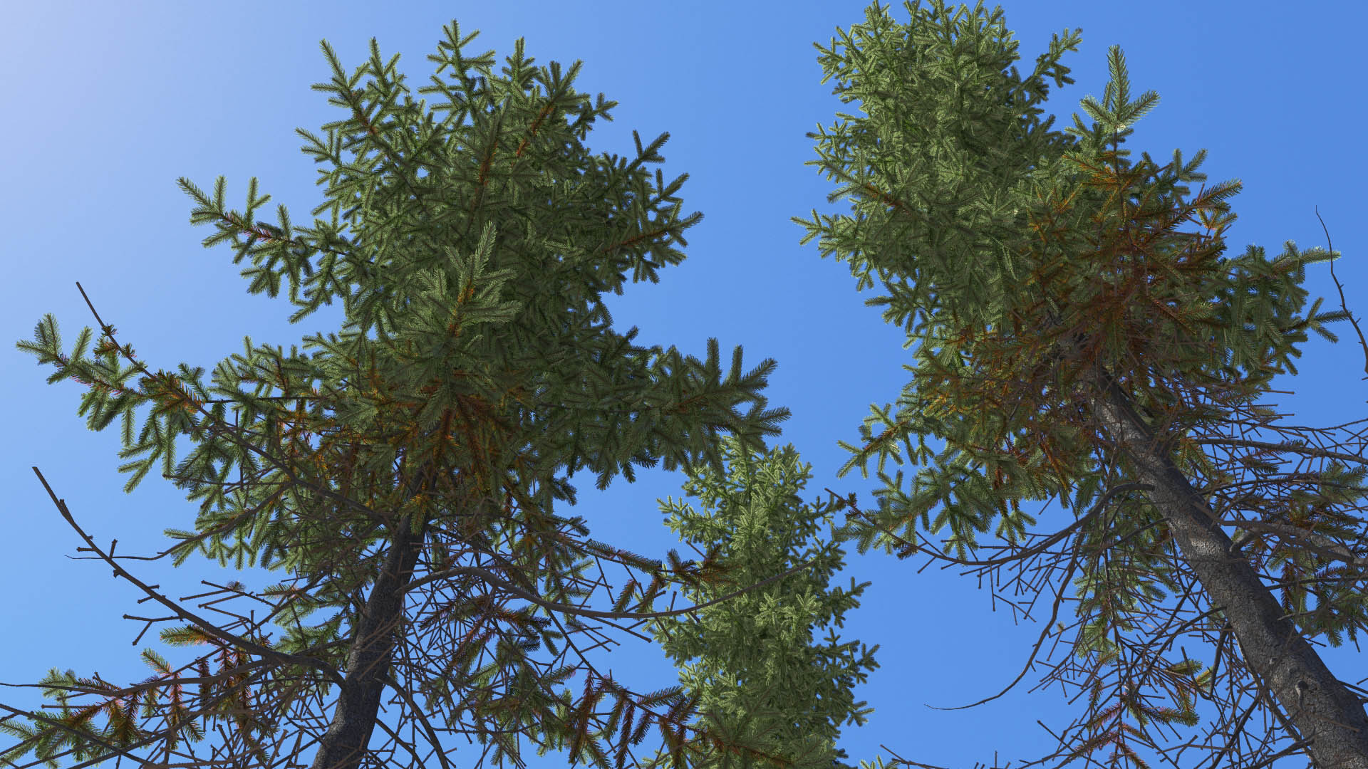 3D model of the Black spruce Picea mariana close-up