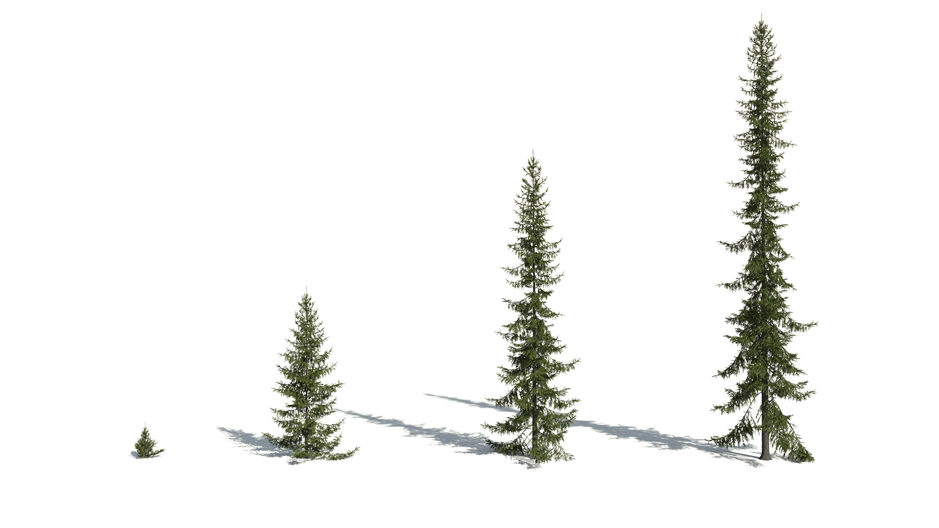 3D model of the Black spruce Picea mariana maturity variations