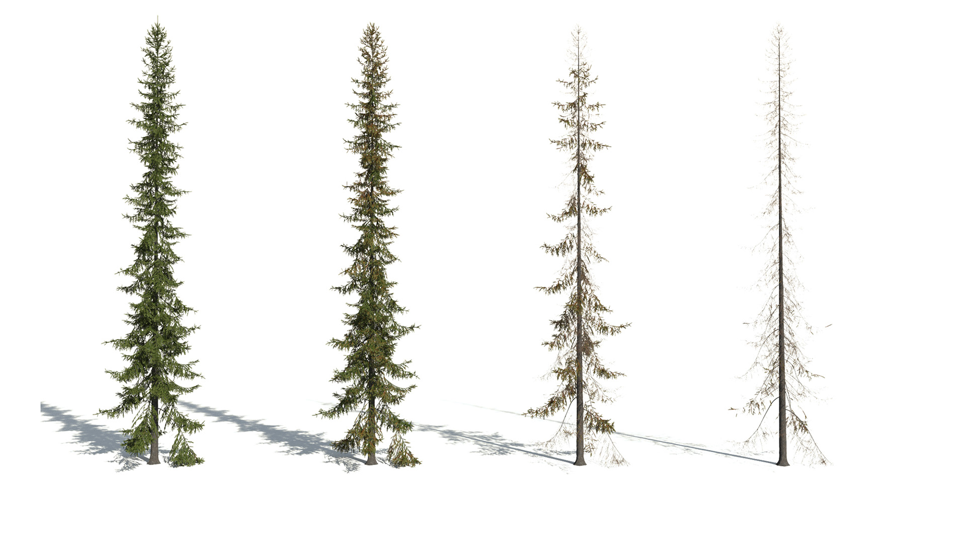 3D model of the Black spruce Picea mariana health variations