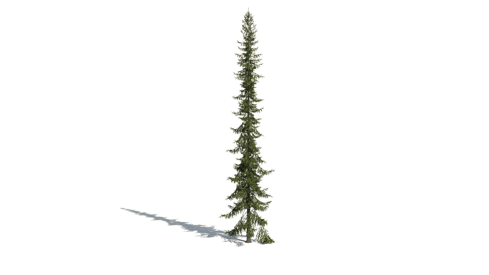 3D model of the Black spruce Picea mariana