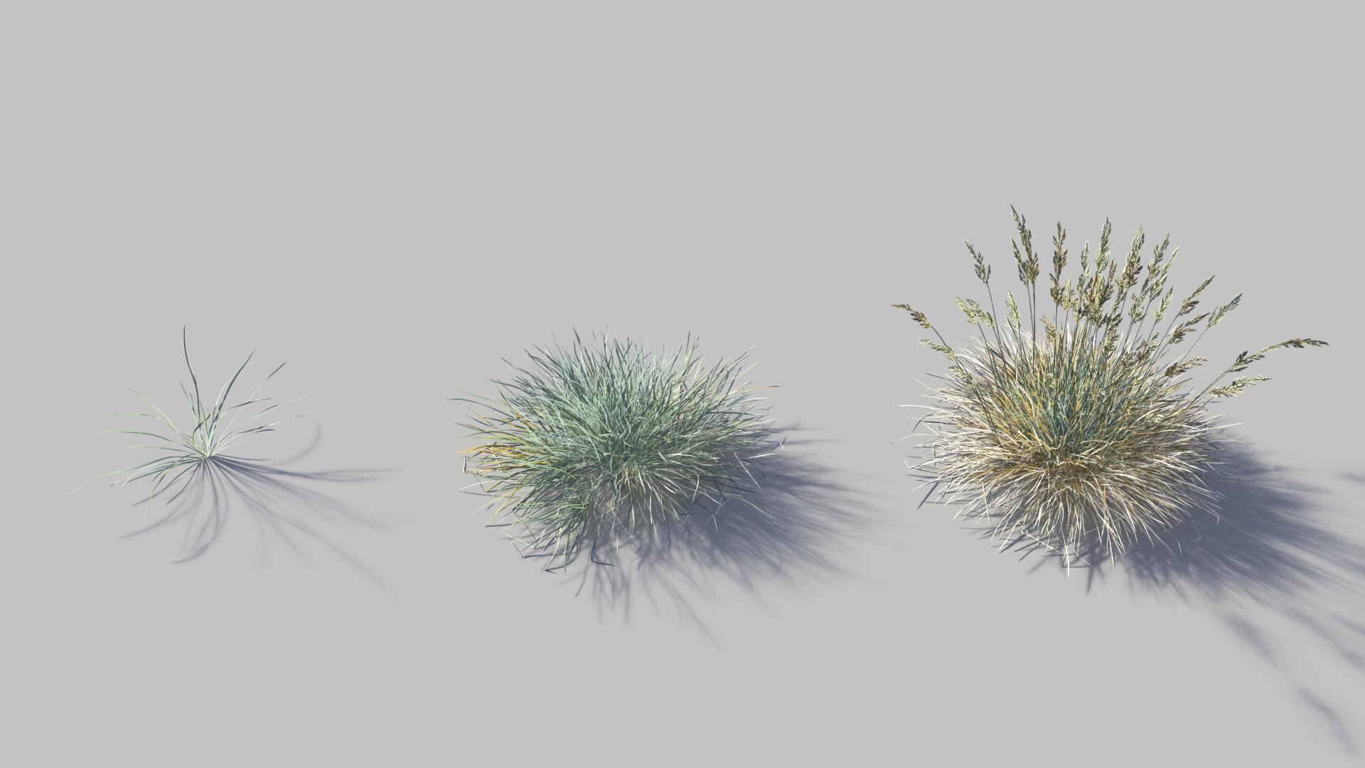3D model of the Blue fescue Festuca glauca