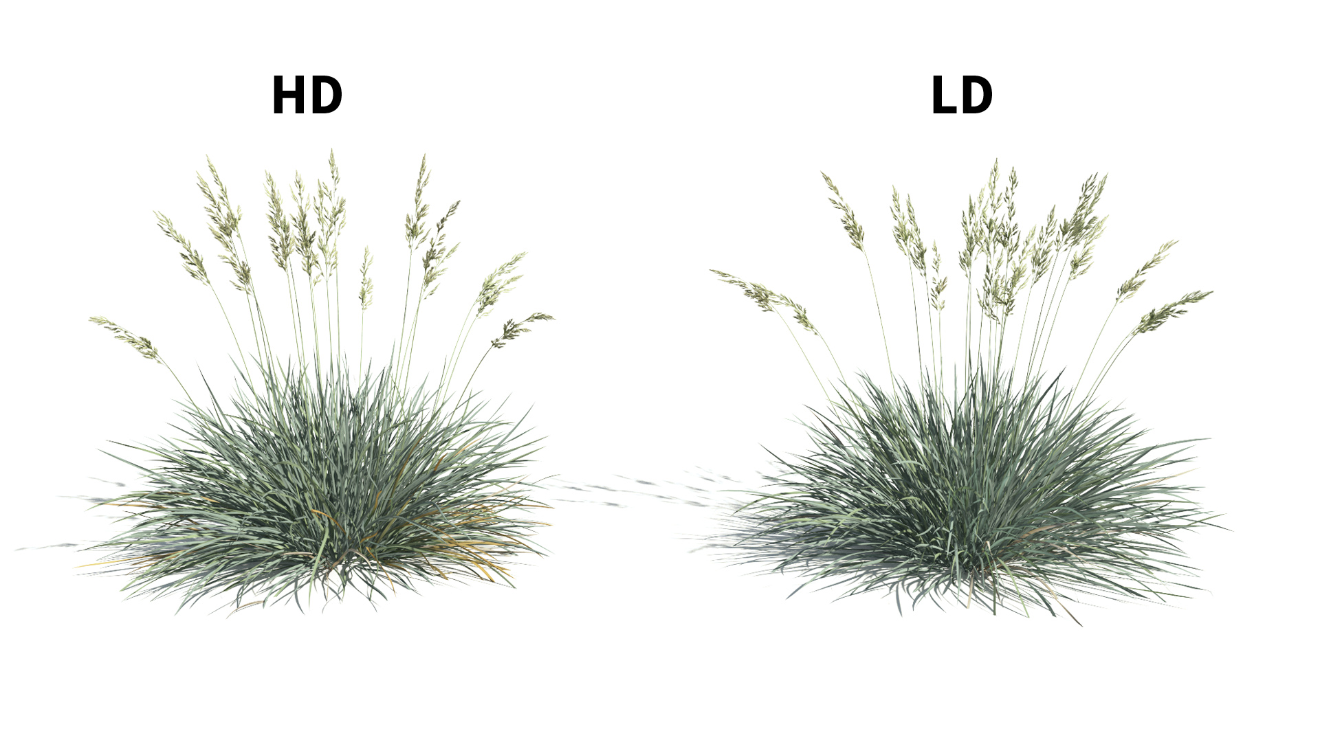 3D model of the Blue fescue Festuca glauca included versions