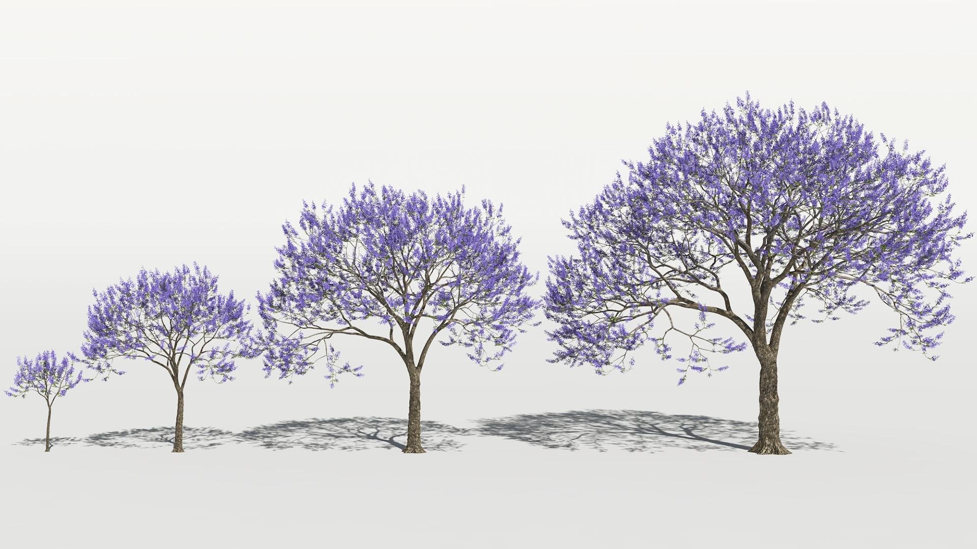 3D model of the Blue jacaranda Jacaranda mimosifolia maturity variations