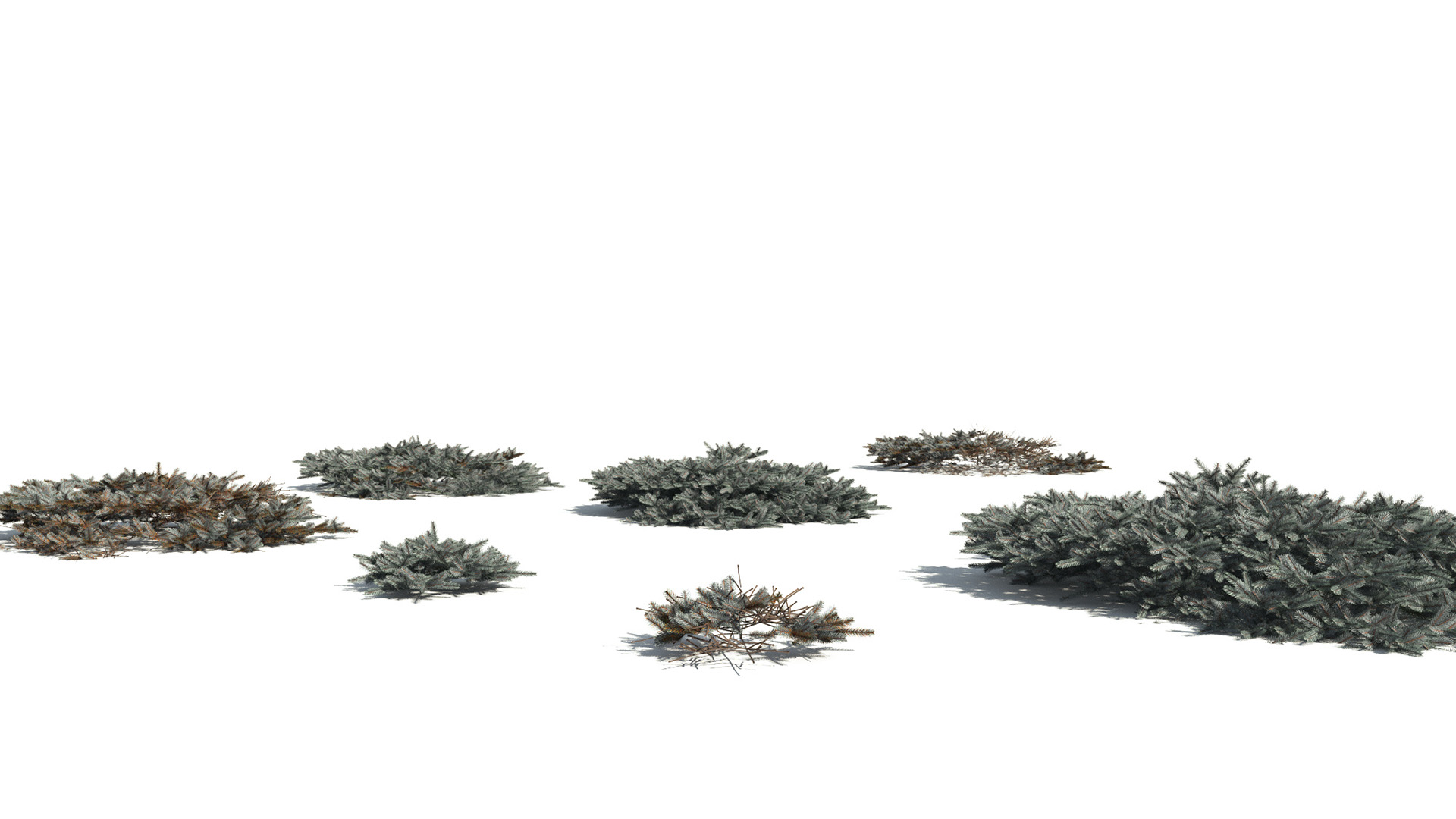 3D model of the Blue Nest spruce Picea mariana 'Ericoides' different presets