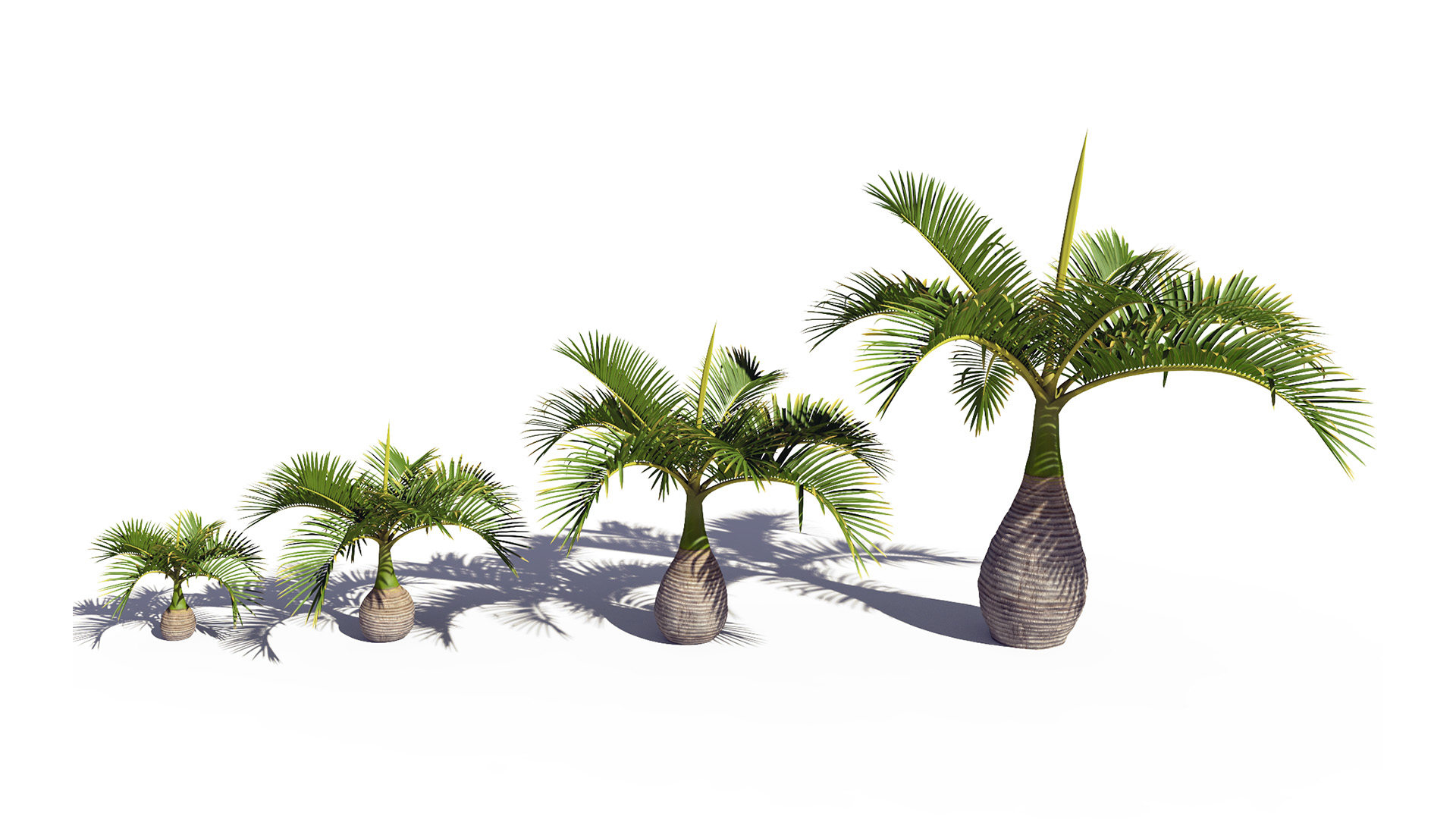 3D model of the Bottle palm Hyophorbe lagenicaulis maturity variations