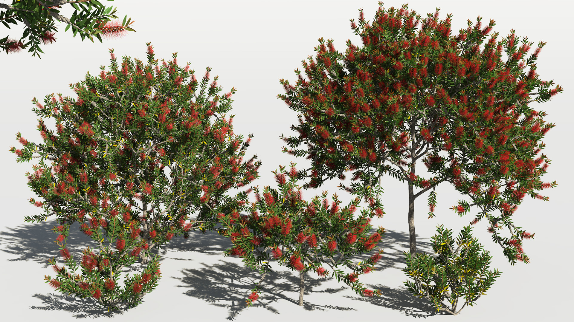 3D model of the Bottlebrush laevis Callistemon laevis different presets
