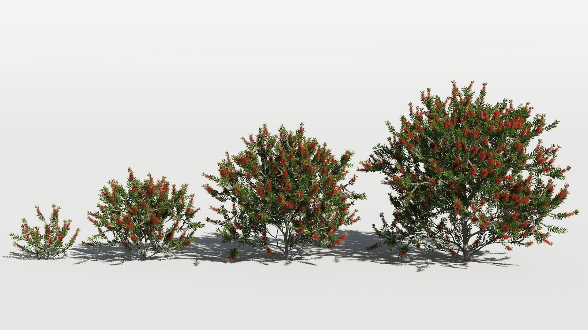 3D model of the Bottlebrush laevis Callistemon laevis maturity variations