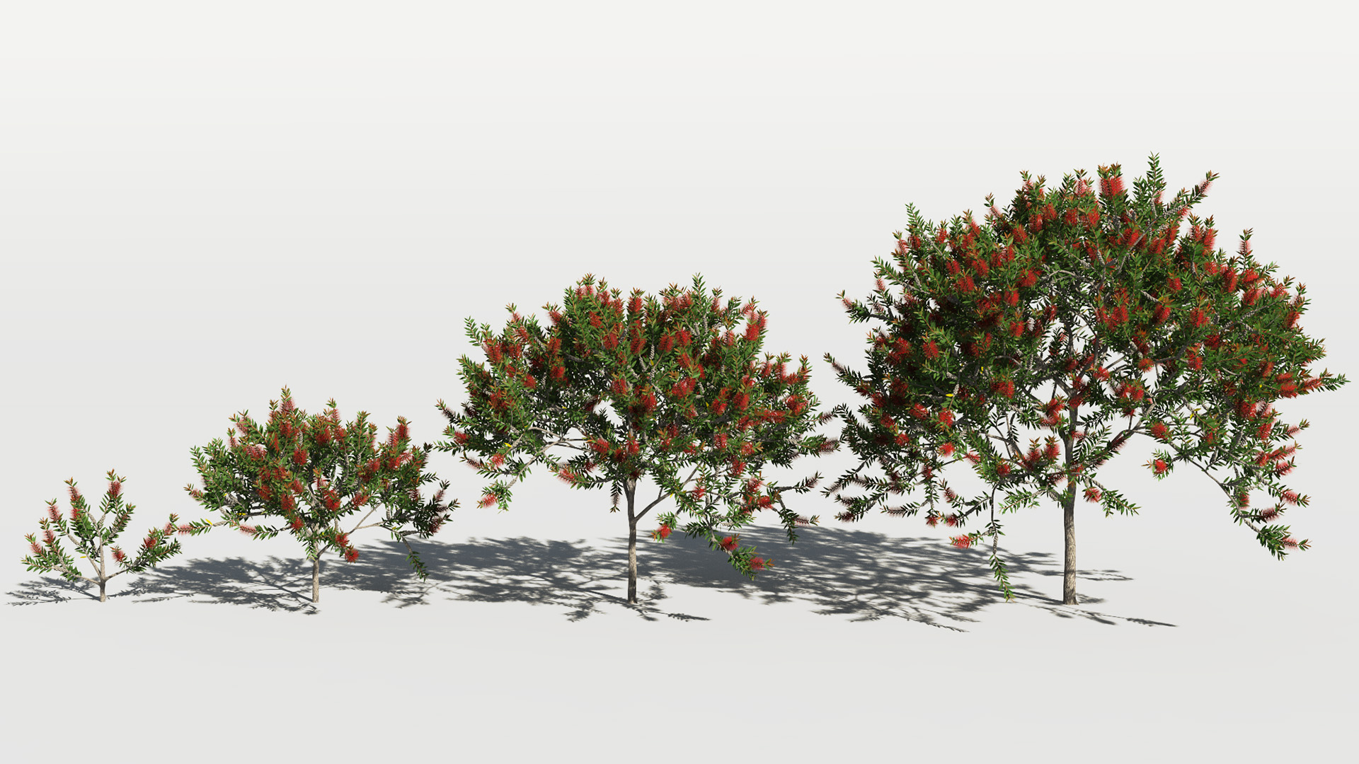 3D model of the Bottlebrush laevis Callistemon laevis