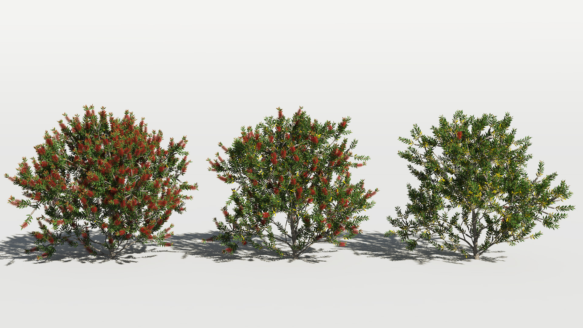 3D model of the Bottlebrush laevis Callistemon laevis health variations